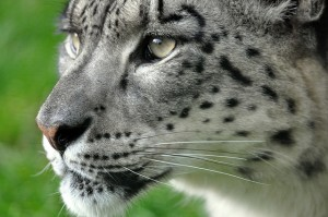snow leopard close up