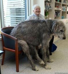 Irish wold hound 5