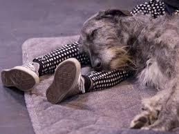 Irish wolf hound 1