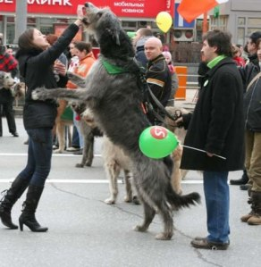 Irish wolf hounds 8