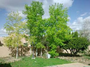 Aspens backyard